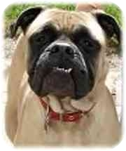 Bullmastiff Dog for adoption in North Port, Florida - Mary Jane