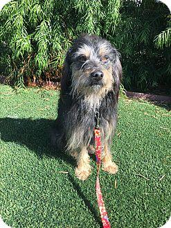 Wheaten Terrier/Australian Shepherd Mix Dog for adoption in El Segundo, California - Brody