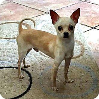 Chihuahua Dog for adoption in Tijeras, New Mexico - Tiny Boy
