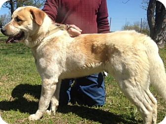 Great Pyrenees/Australian Cattle Dog Mix Dog for adoption in Londonderry, New Hampshire - Buddy Hargrave