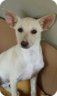 Italian Greyhound/Terrier (Unknown Type, Small) Mix Puppy for adoption in Pennigton, New Jersey - Nala