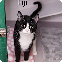Adopt A Pet :: Fiji - Shelton, WA