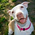 Adopt A Pet :: Olive - Denton, TX