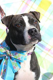 Pit Bull Terrier/Boston Terrier Mix Dog for adoption in Gilbertsville, Pennsylvania - Beckham