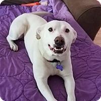 Adopt A Pet :: Yeti - St Louis, MO