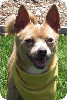 Chihuahua Mix Puppy for adoption in Encinitas, California - Henry