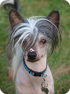 Chinese Crested Dog for adoption in Toronto/Etobicoke/GTA, Ontario - Pedro - hairless!