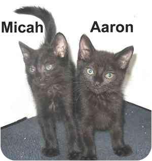 Domestic Shorthair Kitten for adoption in AUSTIN, Texas - AARON & MICAH