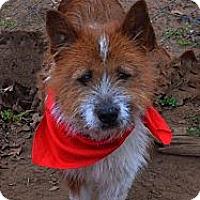 Adopt A Pet :: Scotch - Burleson, TX