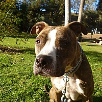 American Staffordshire Terrier/Mastiff Mix Dog for adoption in Los Angeles, California - MARLEY - COURTESY