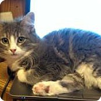 Domestic Shorthair Cat for adoption in Bellevue, Washington - Ginny