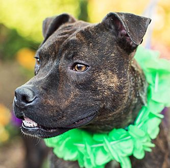 Staffordshire Bull Terrier Mix Puppy for adoption in Germantown, Maryland - Candy