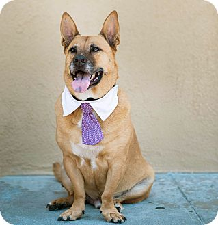 Shepherd (Unknown Type)/Corgi Mix Dog for adoption in Los Angeles, California - Handsome Biggie-VIDEO