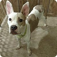 Adopt A Pet :: Hally - Hanna City, IL