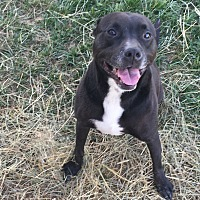 Staffordshire Bull Terrier/Labrador Retriever Mix Dog for adoption in Saint Clair, Missouri - Stanlee