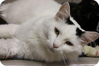 Domestic Mediumhair Cat for adoption in Medina, Ohio - Chester