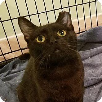 Domestic Shorthair Cat for adoption in Colmar, Pennsylvania - Dove -Adoption Pending!