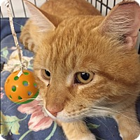 Adopt A Pet :: Mango - Forest Hills, NY