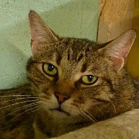 Domestic Shorthair Cat for adoption in Westville, Indiana - Roy