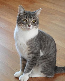 American Shorthair Cat for adoption in Palo Cedro, California - Weldin