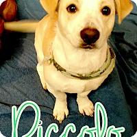 Adopt A Pet :: Piccolo - Odessa, TX