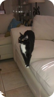 Domestic Shorthair Cat for adoption in Naples, Florida - Judy