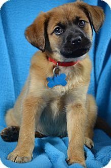 German Shepherd Dog/Retriever (Unknown Type) Mix Puppy for adoption in Minneapolis, Minnesota - Gilbert
