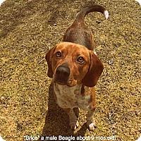 Adopt A Pet :: Brice - Gadsden, AL