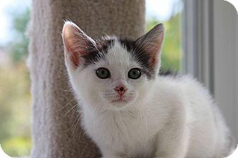 Domestic Shorthair Kitten for adoption in Gainesville, Virginia - Theo