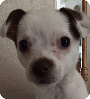 Chihuahua Mix Puppy for adoption in Henderson, Nevada - Piper