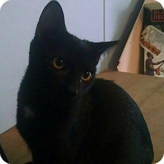 Domestic Shorthair Kitten for adoption in Savannah, Georgia - Prince
