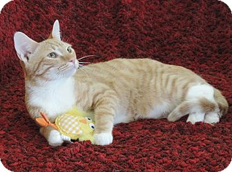 Domestic Shorthair Cat for adoption in Plano, Texas - SUNKIST - LAP KITTY