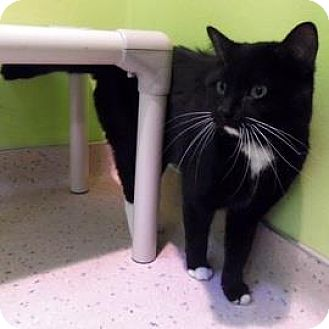 Domestic Shorthair Cat for adoption in Janesville, Wisconsin - Ludo