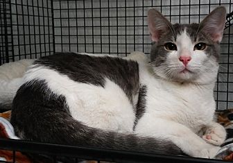 Domestic Shorthair Cat for adoption in Dallas, Texas - CHARLIE