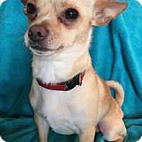 Adopt A Pet :: Ringo - San Francisco, CA