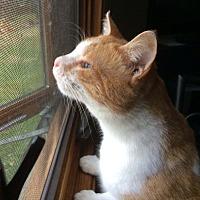Adopt A Pet :: Corn - Lombard, IL