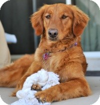Golden Retriever Mix Dog for adoption in Scottsdale, Arizona - Lacey