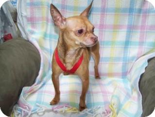 Chihuahua Mix Dog for adoption in Seattle, Washington - Patrone