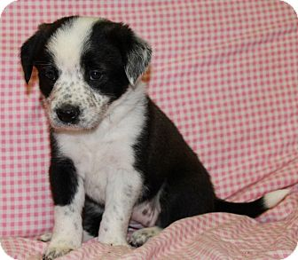 Border Collie/Chow Chow Mix Puppy for adoption in Greeley, Colorado - Penguin
