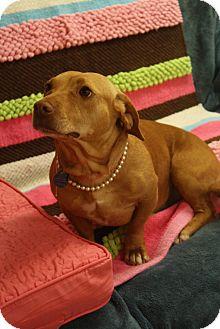 Basset Hound/Labrador Retriever Mix Dog for adoption in Marietta, Georgia - Dorrie