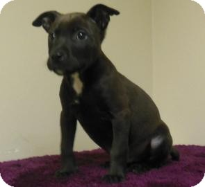 Pit Bull Terrier Mix Puppy for adoption in Gary, Indiana - Exley