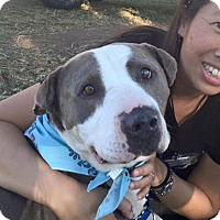 Adopt A Pet :: Ambassador Howie - Los Angeles, CA
