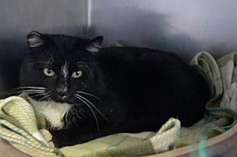 Domestic Shorthair Cat for adoption in New Milford, Connecticut - Seymour