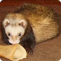 Adopt A Pet :: Meeko - Indianapolis, IN