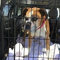 Adopt A Pet :: layla - Hesperia, CA