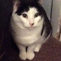 Domestic Shorthair Cat for adoption in Mt Pleasant, Pennsylvania - Blossum