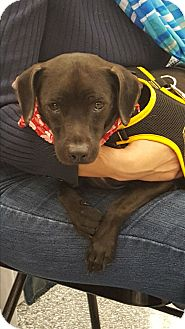 Manchester Terrier Mix Dog for adoption in Monrovia, California - Petey