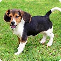 Adopt A Pet :: PUPPY IRIS - Sussex, NJ