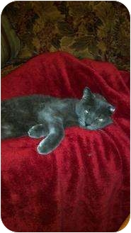 Russian Blue Cat for adoption in Clay, New York - Vinnie