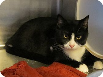 Domestic Shorthair Cat for adoption in Geneseo, Illinois - Chevy